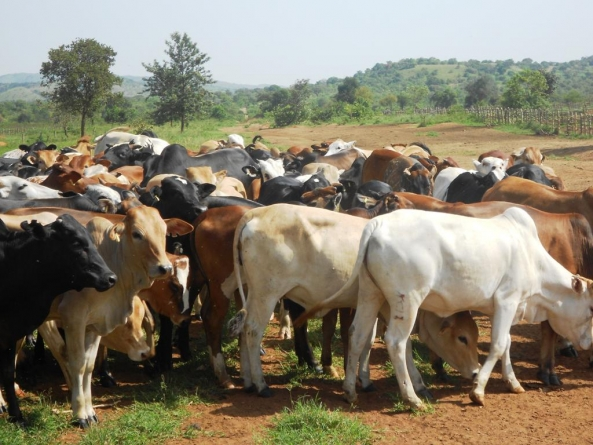Collective ranching sustainable for Zimbabwe cattle farmers