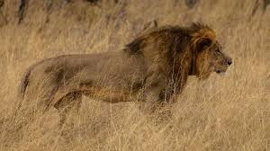 Lions' killings trigger anger in Zimbabwe