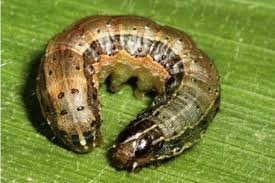 US partners Zimbabwe to tackle armyworm