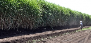 Sweet prospects for Africa's sugar sector