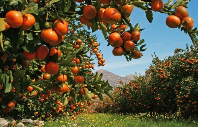 COVID-19 spoils record year for SADC citrus sector