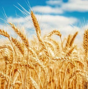 Disease outbreak threatens Zambia wheat production
